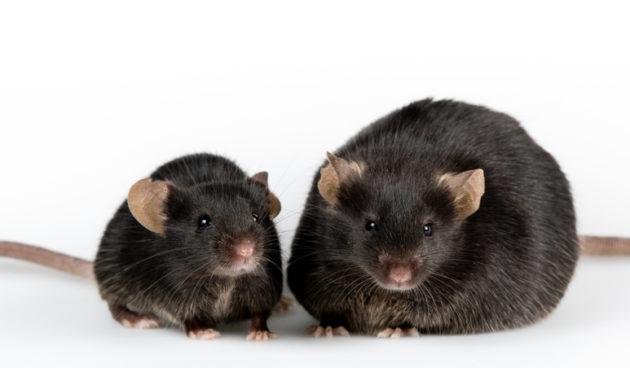 Lihava ja normaalipainoinen hiiri