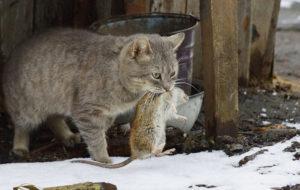 Vain nälkäinen kissa on mainio rotanpyydystäjä.