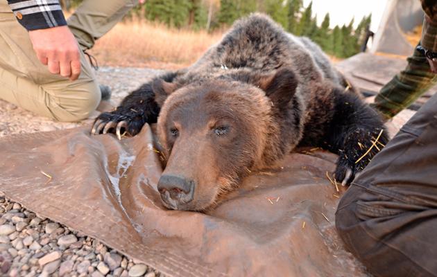 Nukutettu karhu