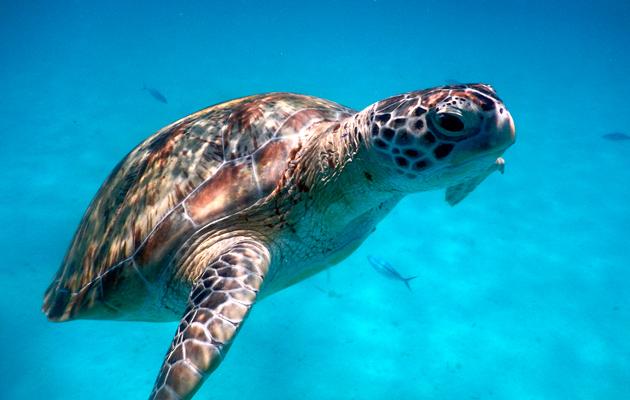 Merikilpikonnia voi nähdä sekä snorklaus- että sukellusreissuilla