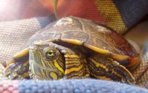 Kilpikonnat ovat suosittuja lemmikkieläimiä.