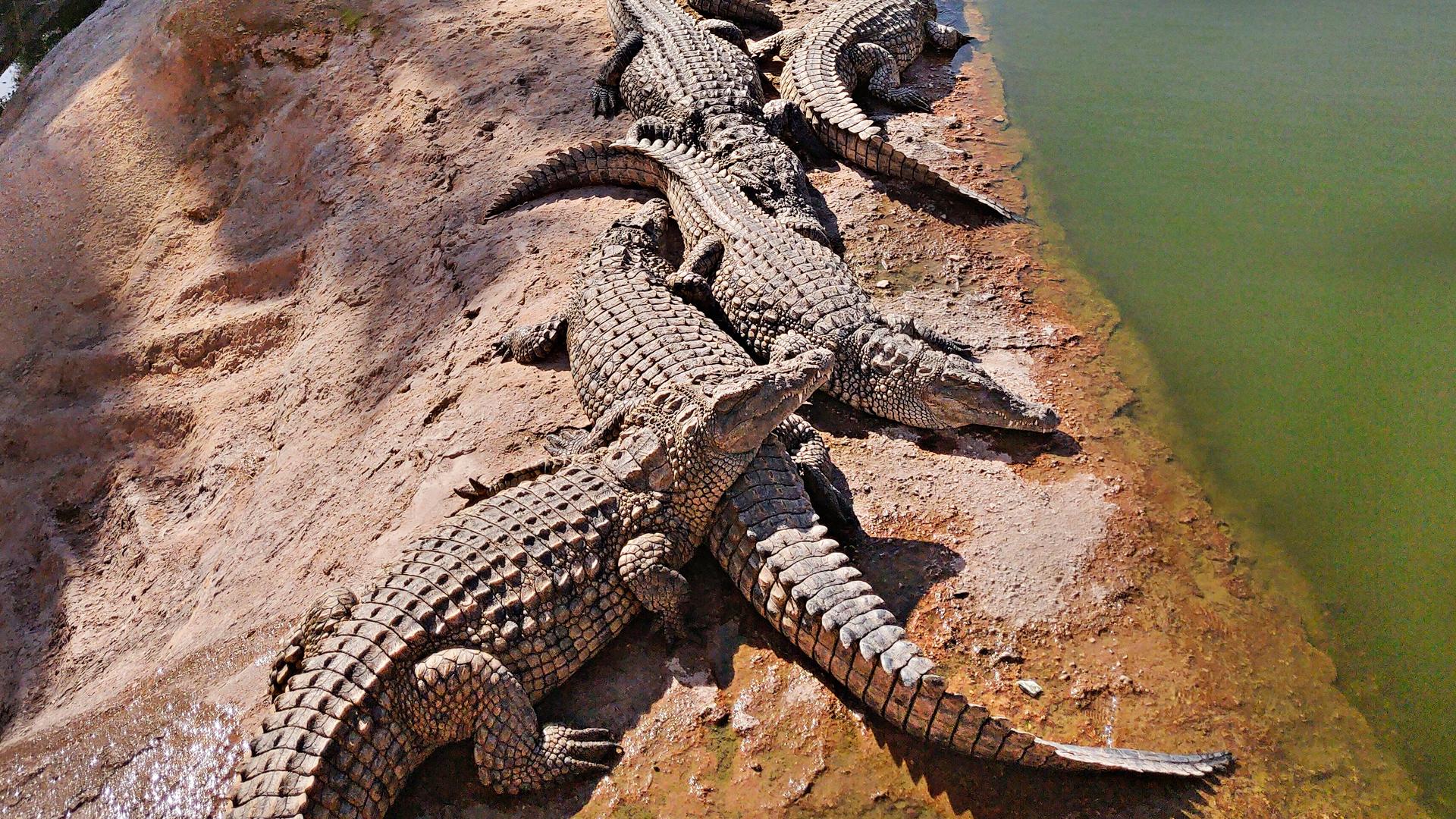 Krokotiilit