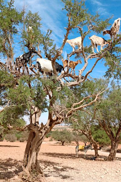 Vuohet ruokailevat arganpuussa