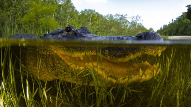 Tutkijat selvittivät, miksi krokotiilit ja alligaattorit syövät kiviä.