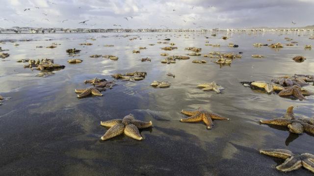 Miksi meritähdet katoavat rannoilta? Onko syynä lämmennyt merivesi?