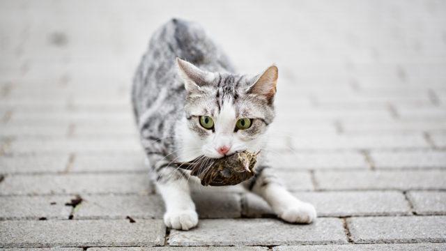 Paljon kissa metsästää?