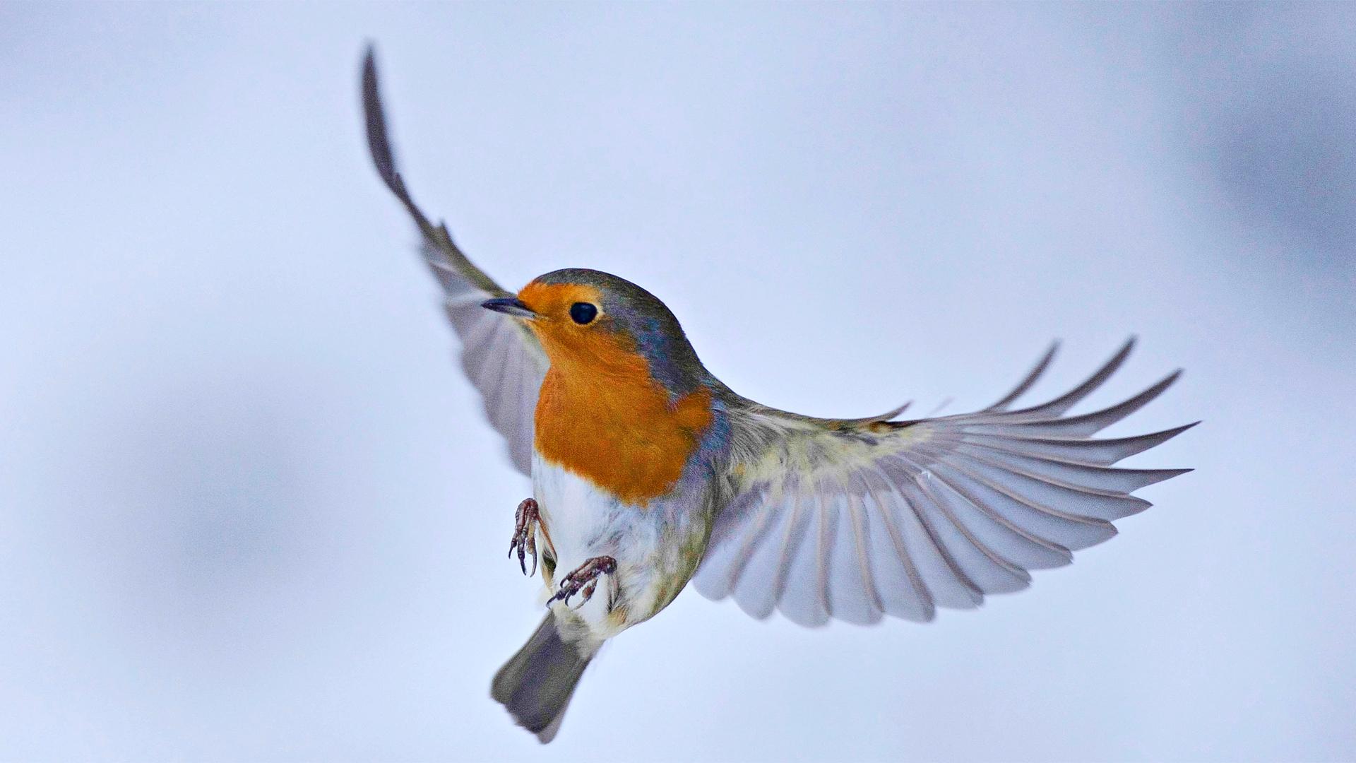 Punarinta lintu