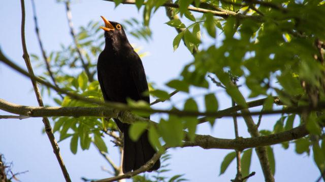 Mustarastas laulaa luontolivessä Helsingin saaristossa.