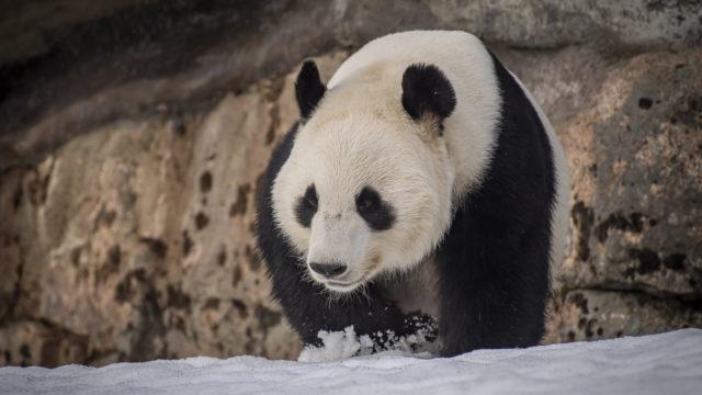Pyry-panda lumihangessa.