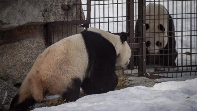 Ähtärin pandapari Lumi ja Pyry tekevät tuttavuutta turvaverkko välissään.