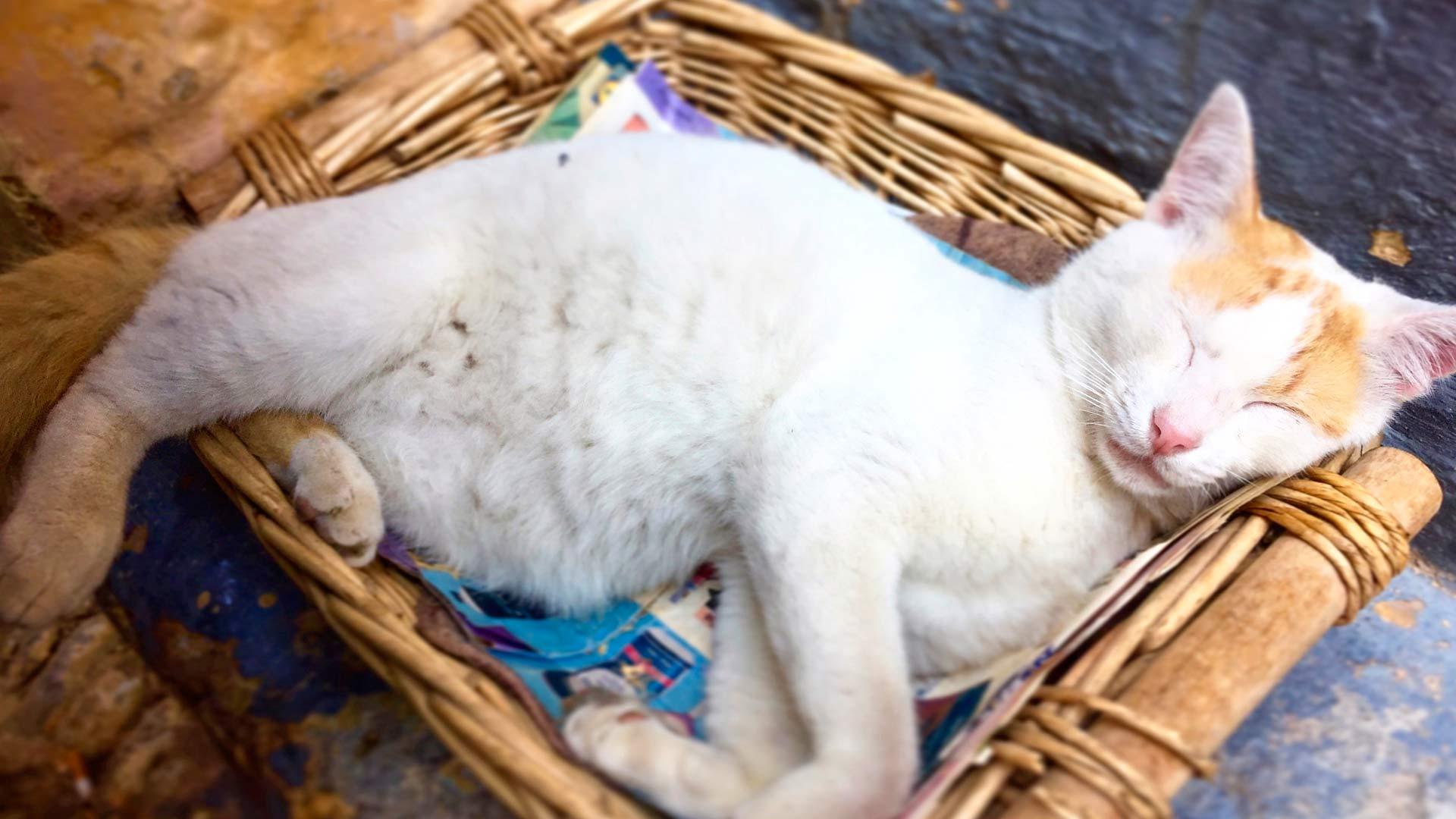 Rodoksen kissa
