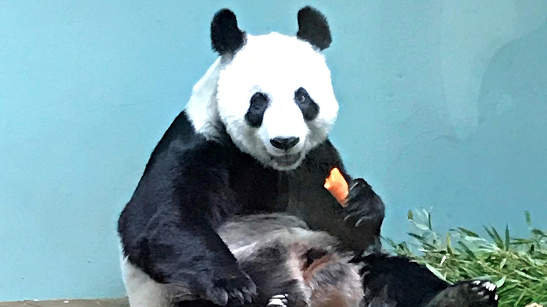 Edinburghin eläintarhan panda