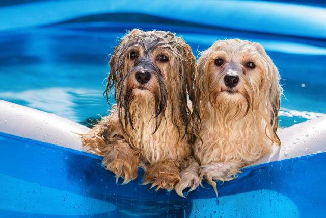 Koirakin voi nauttia uima-altaassa polskimisesta.