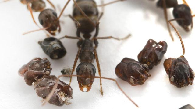 Kekomuurahainen kerää toisen muurahaislajin kalloja pesäänsä.