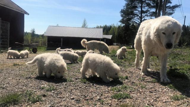 Laumanvartijat opettelevat ymmärtämään vartioitavia eläimiä jo pennusta pitäen.