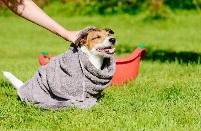 Kostea pyyhe viilentää koiraa.