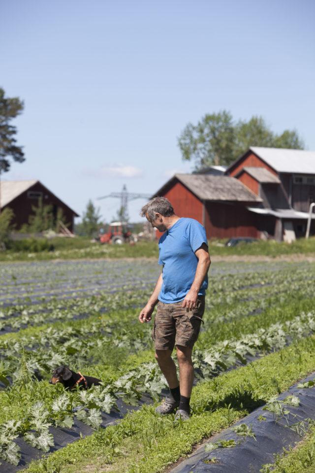 Hannu Rinnekari ja mäyräkoira Vilkas tarkastelevat kesäkurpitsapeltoa, jolle levitettiin kipsiä viime syksynä.