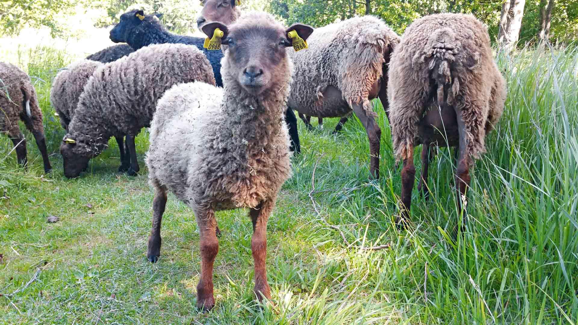 Saarella laiduntavia lampaita