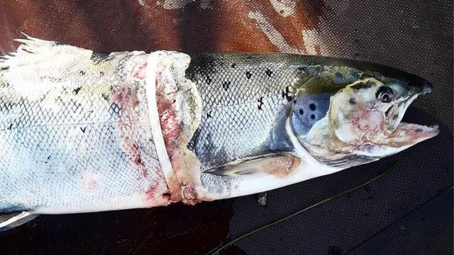 Kalat voivat takertua muovijätteeseen.