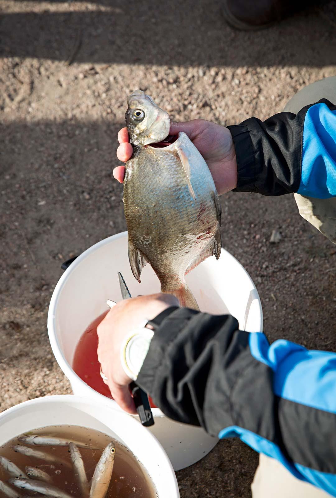 kalan käsittelyä ja perkaamista