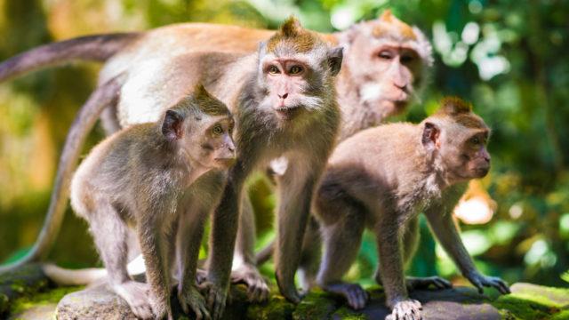 Espanjalaiset tutkijat kokeilivat Kiinassa, voitaisiinko apinoiden alkioissa kasvattaa ihmisille varaelimiä. Tulokset olivat lupaavia.