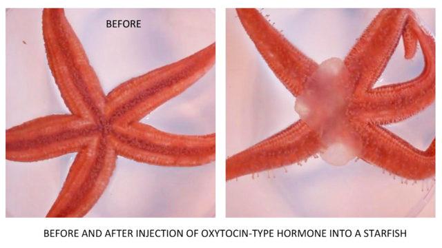 oksitosiini ja meritähti