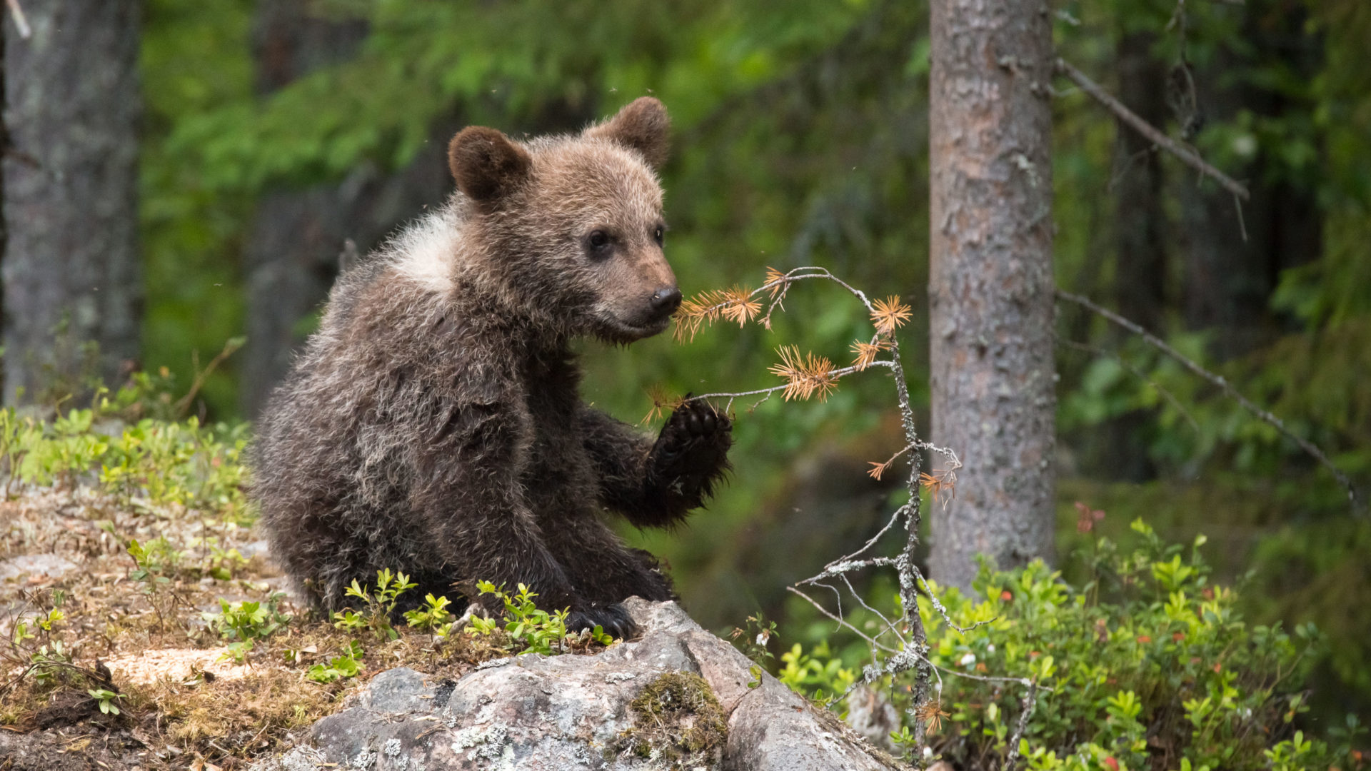 Karhujen mailla - Karhunpentu kivellä.