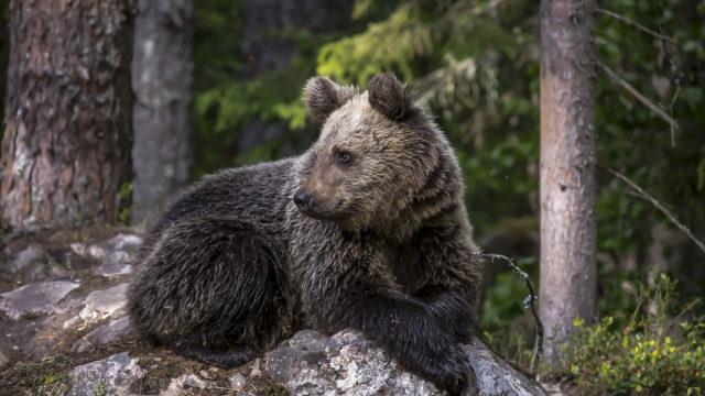 Karhu makoilee kalliolla.