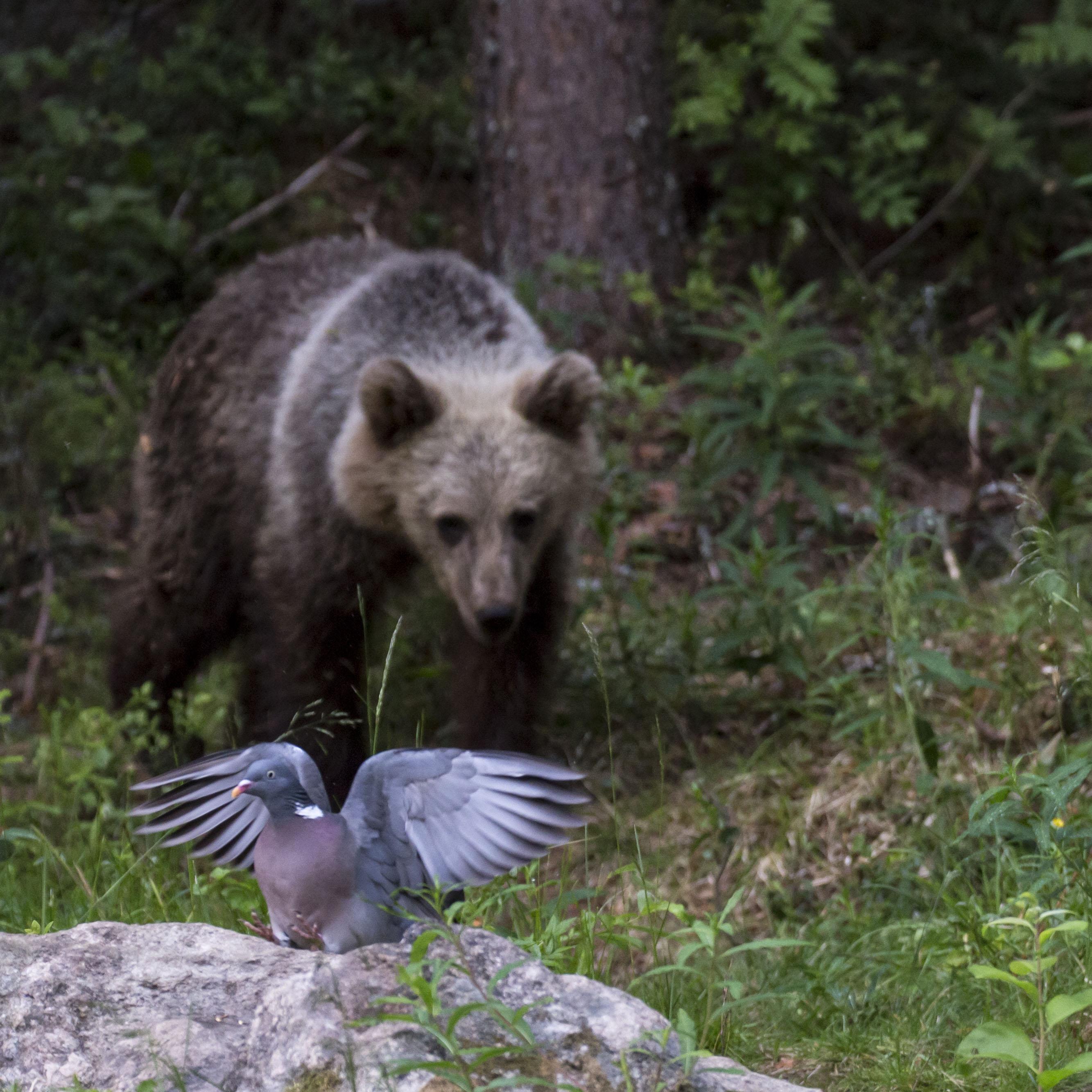 Karhu ja siipiään levittävä lintu