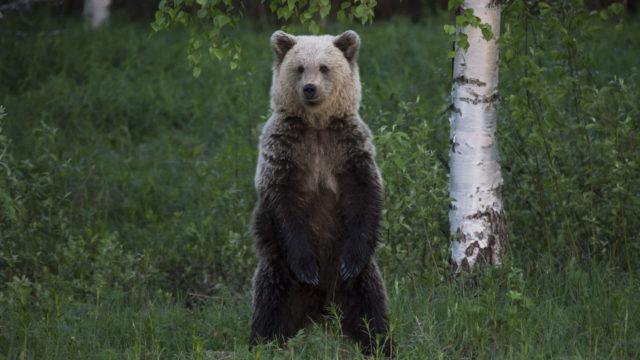 Iso karhu seisaallaan.