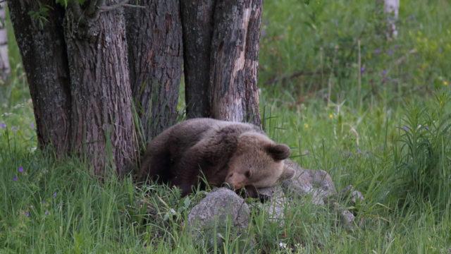 Karhupentu nukkuu pellolla kivi tyynynään.