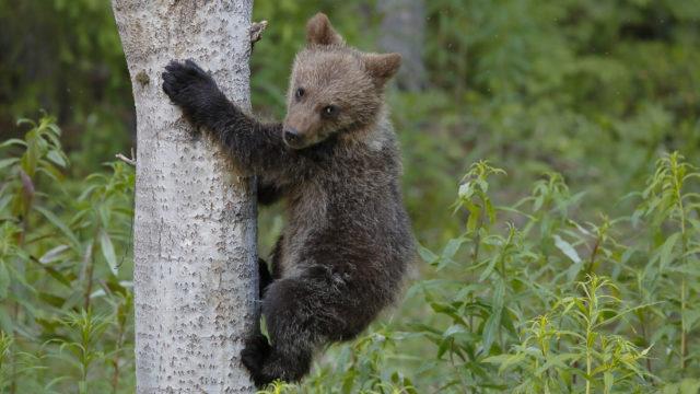Karhupentu kiipeää puunrunkoa pitkin.