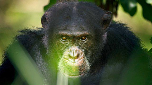 Alfauros David on johtanut 32-jäsenistä simpanssilaumaa kolmen vuoden ajan.