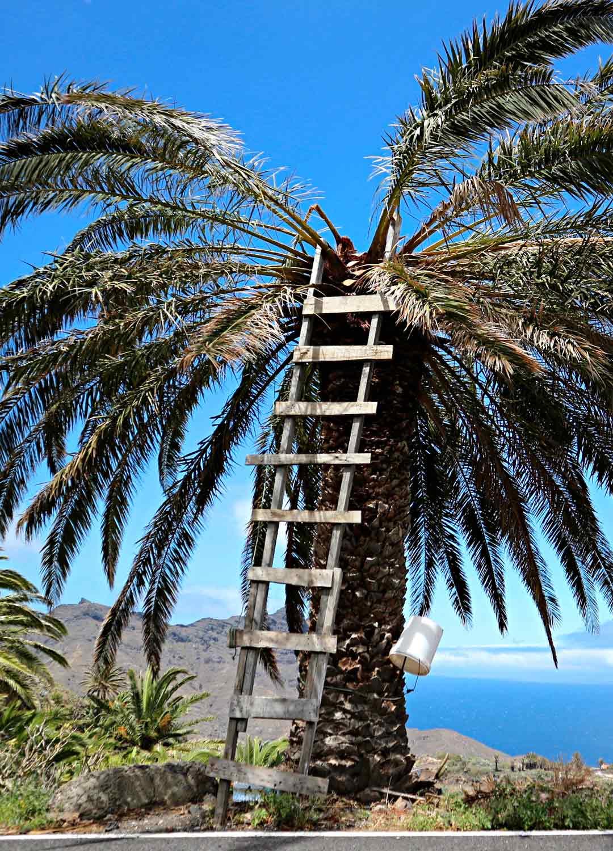 Palmumahlan keräämiseen tarvitaan tikapuut.