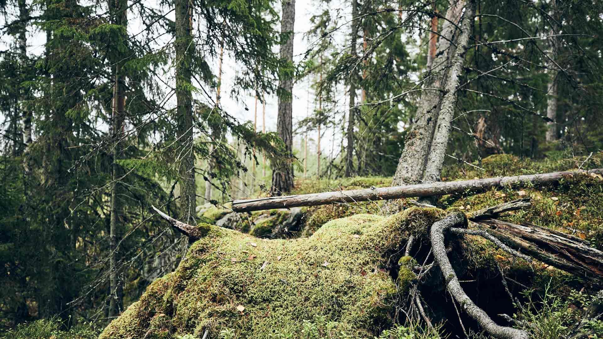 Muistot eivät katoa, kun ne sidotaan suomalaiseen sielunmaisemaan, vihreään metsään.