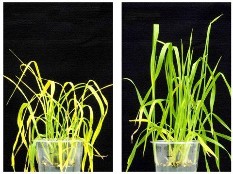 Kalifornian yliopiston tutkijat ovat kehittäneet molekyylin, joka auttaa kasvia säilyttämään kosteuden solukoissaan sen sijaan, että se haihduttaa sen ilmaan.