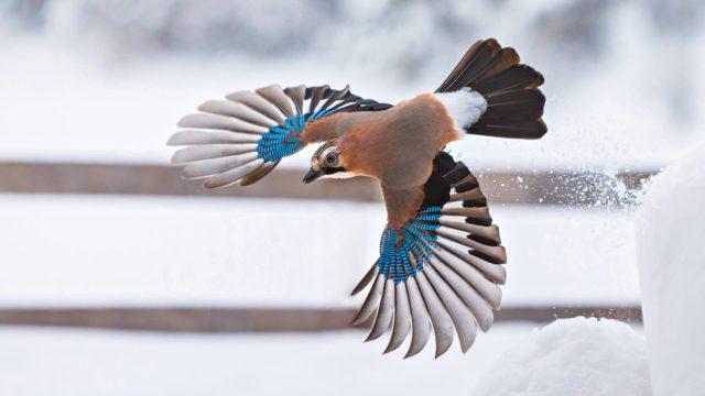 Närhi luetaan Suomessa uhanalaisuusluokitukseltaan silmälläpidettäviin lajeihin.