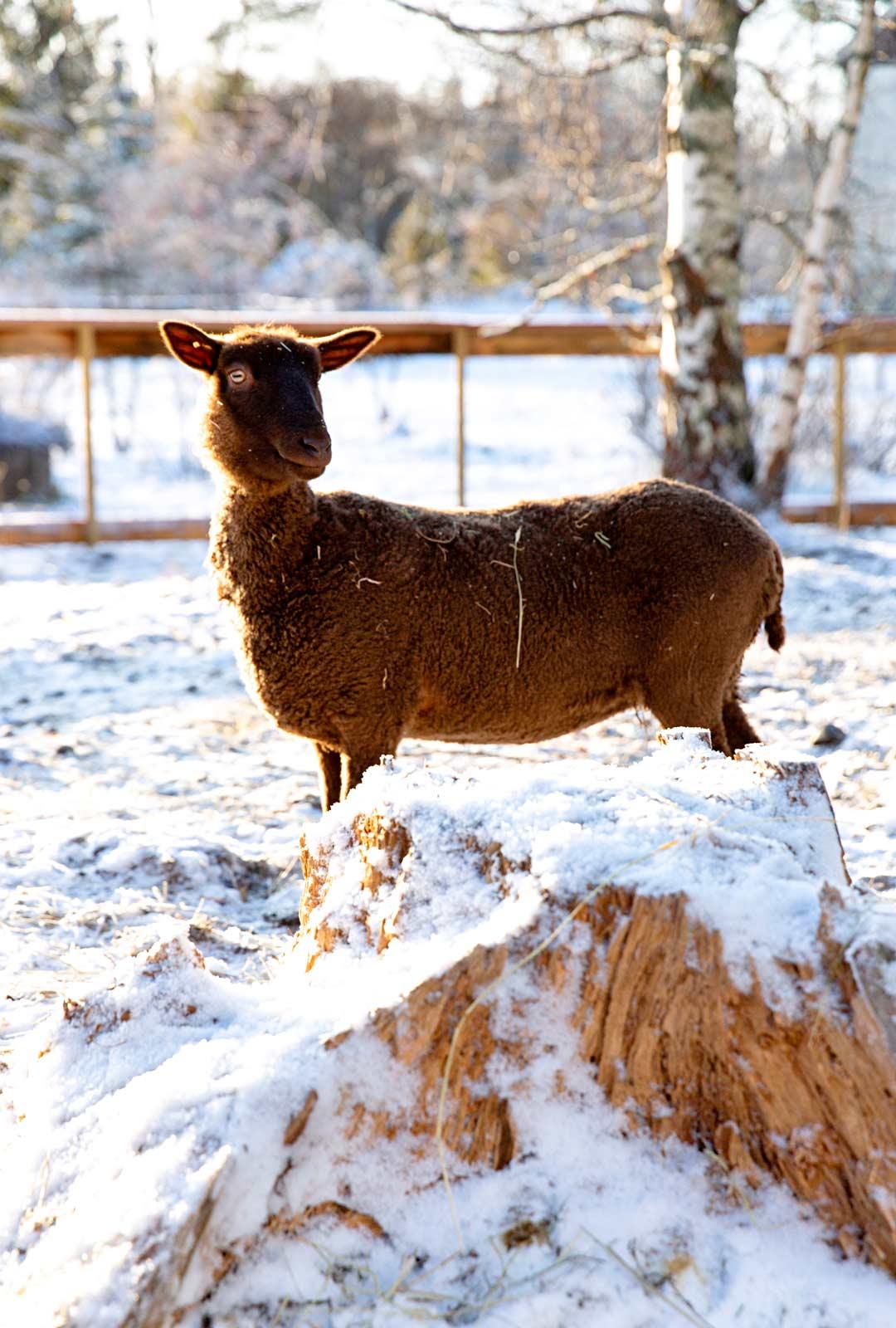 Maatila Kuninkaan valtakunnan eläimet on nimetty tangokuninkaallisten mukaan. Kuvassa Taina-lammas.