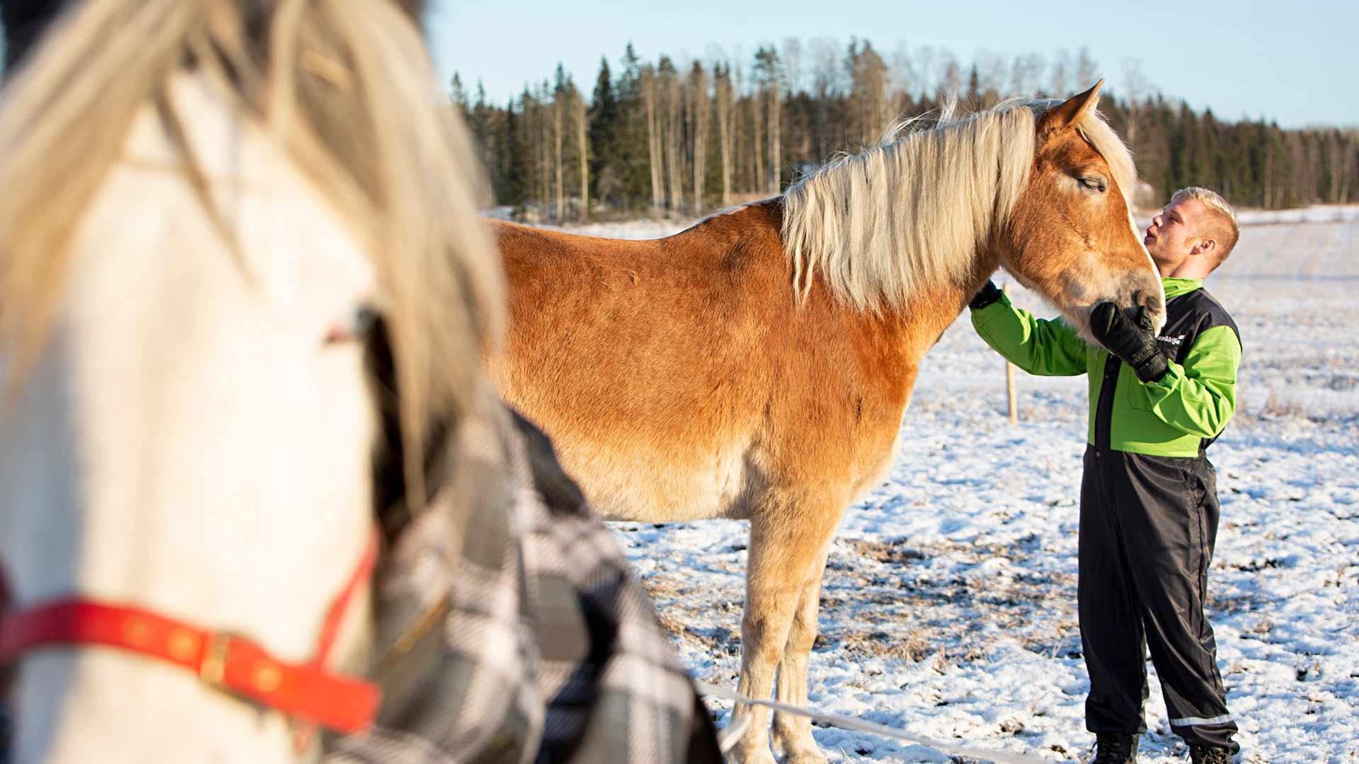Aki Samuli suunnittelee hakevansa ennen jouluaattoa omasta metsästä valitsemansa kuusen Kauko-suomenhevosella. Hän aikoo järjestää läheisilleen perinteisen puurojuhlan ennen pyhiä.