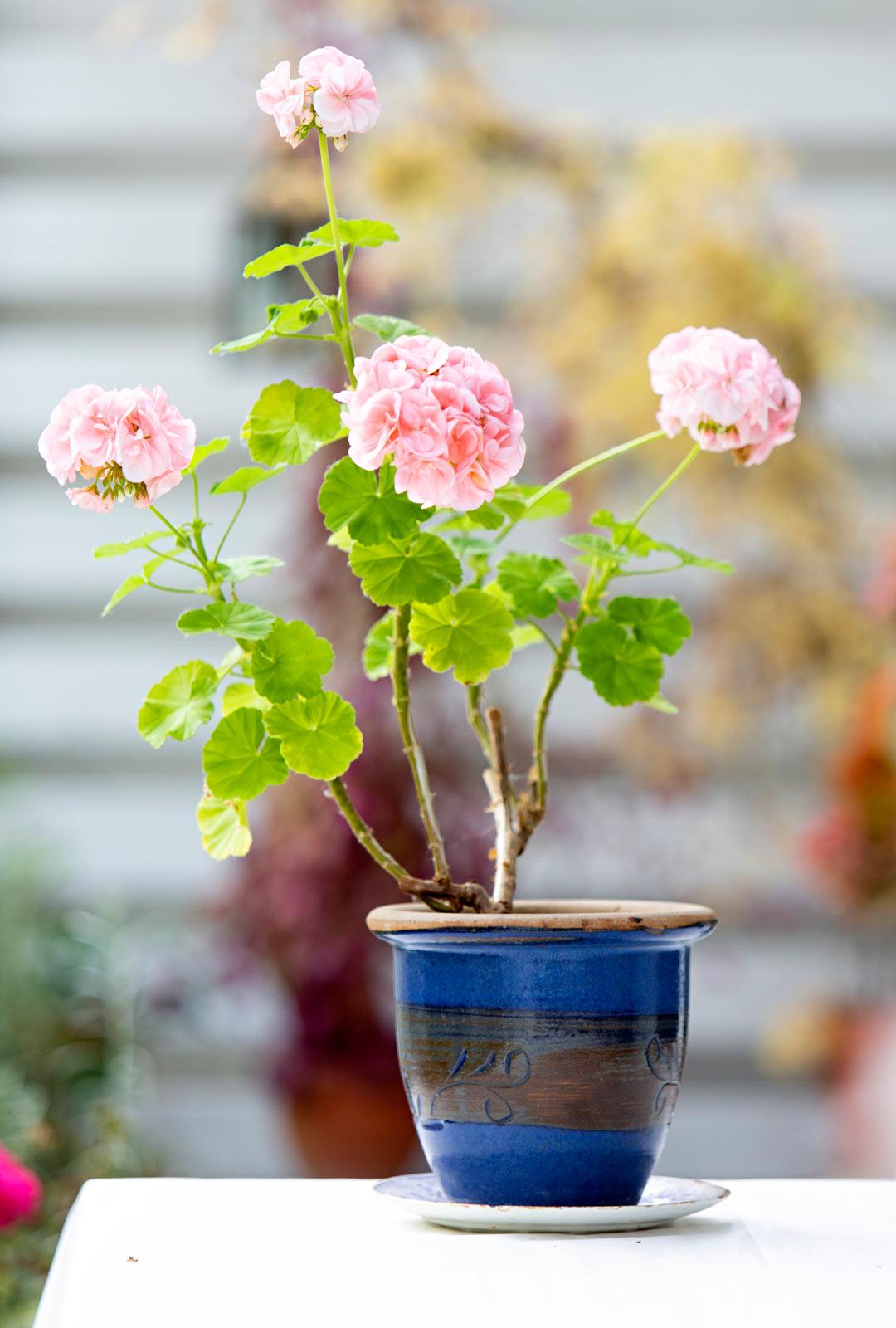 Pelargoni on monivuotinen kasvi, joka talvehtii vaikka kellarissa.