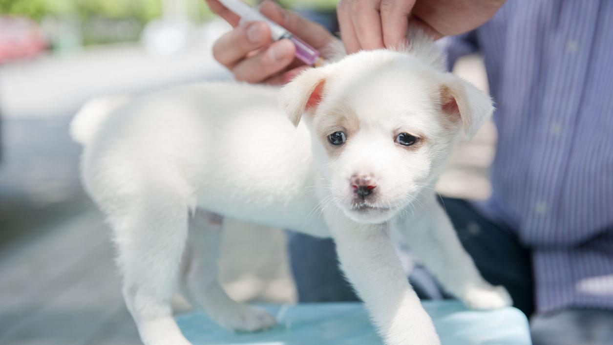 Rabies on riski Suomessakin. Suomessa eläinlääkäri tarkastaa tuontikoiralta rokotusten voimassaolon ja tuontiehtojen täyttymisen aina ensimmäisen eläinlääkärikäynnin yhteydessä. Näin ei kuitenkaan saada kiinni koiria, joissa rokotus ei ole syystä tai toisesta saanut aikaan tarvittavaa vasta-ainetuotantoa tai joiden asiakirjat on väärennetty.
