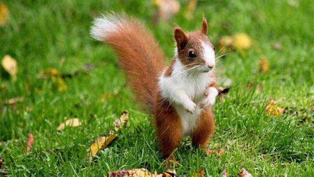 Oravien valkoinen väri selittyy Esa Hohtolan mukaan leukismilla.