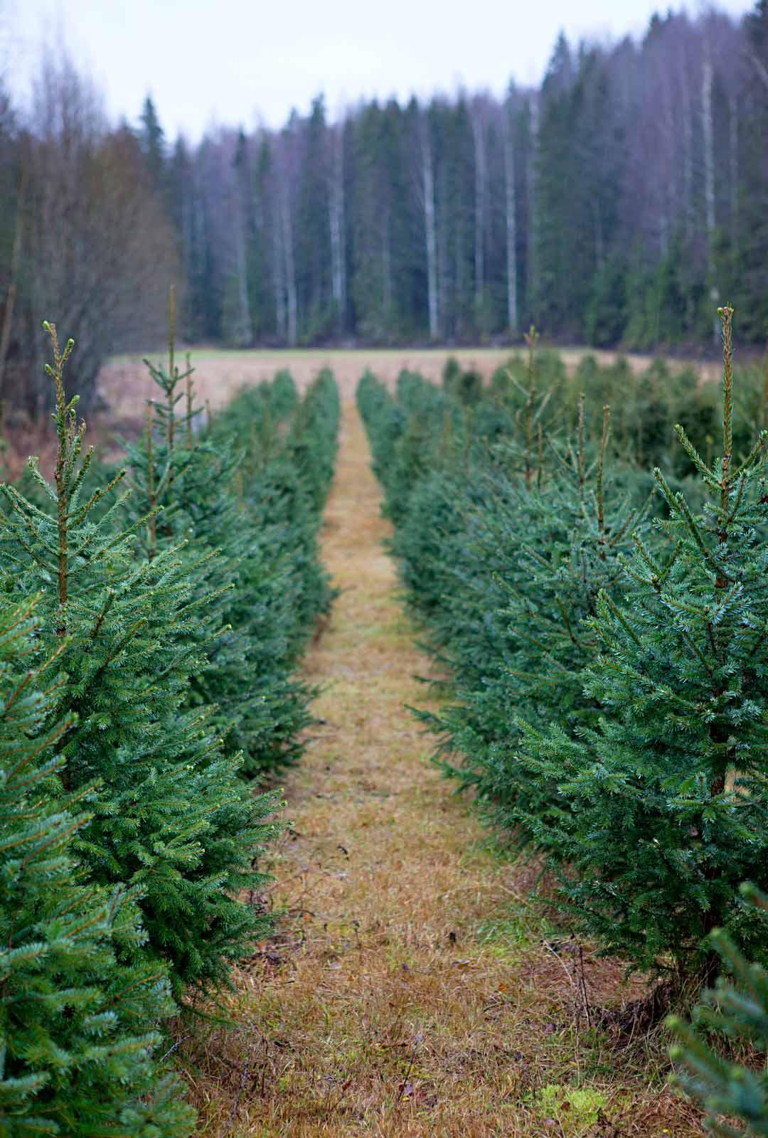Joulupuuseuran mukaan suomalaisiin koteihin ostetaan noin 1,4 miljoonaa joulukuusta. Suosituin on metsäkuusi.