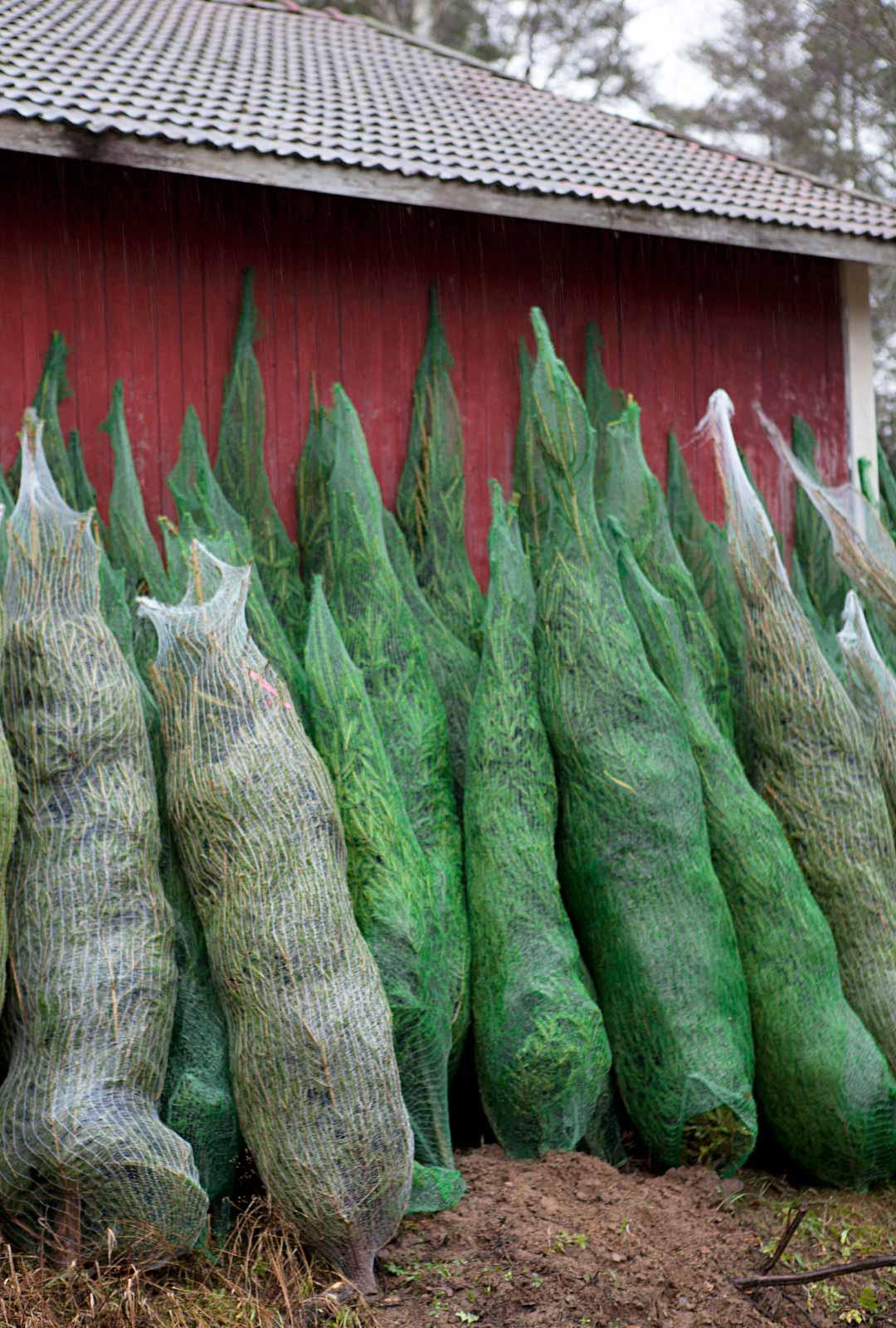 Verkkopussi suojaa kuusta kuljetuksen aikana. Koska kuuset kaadetaan vasta muutama viikko ennen joulua, niiden luvataan pysyvän tuoreina ja hyvännäköisinä pitkään.