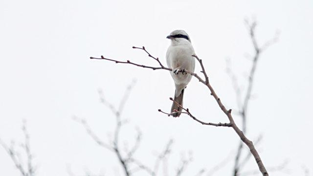 Talviselle lintulaudalle ilmestyvää lepinkäistä ei pidä kavahtaa.