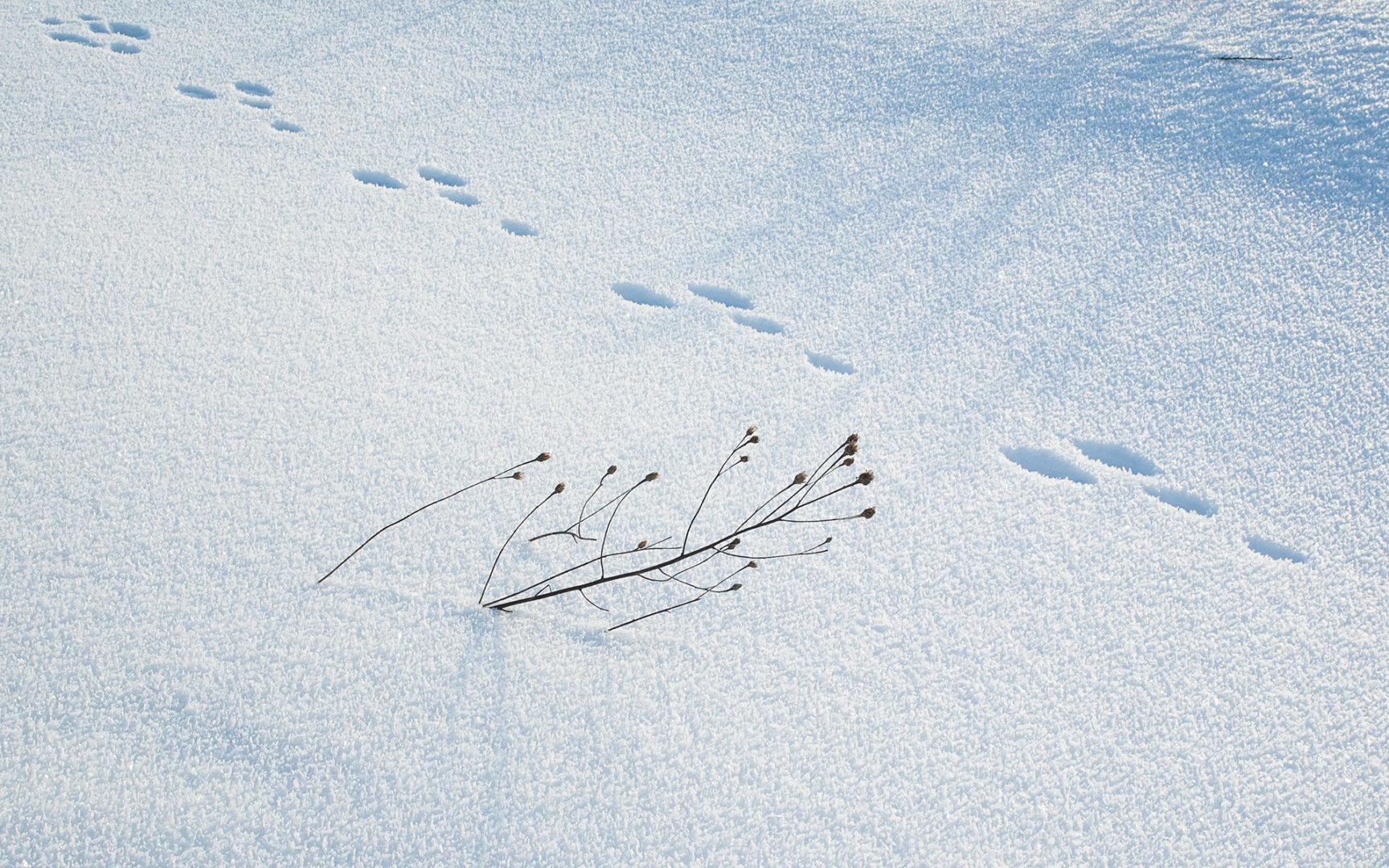 Lumijälkiä seuraamalla voi tutkia metsän eläinten liikkeitä.