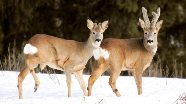 Metsäkauriiden pääluvuksi arvioidaan 60000–80000 eläintä.