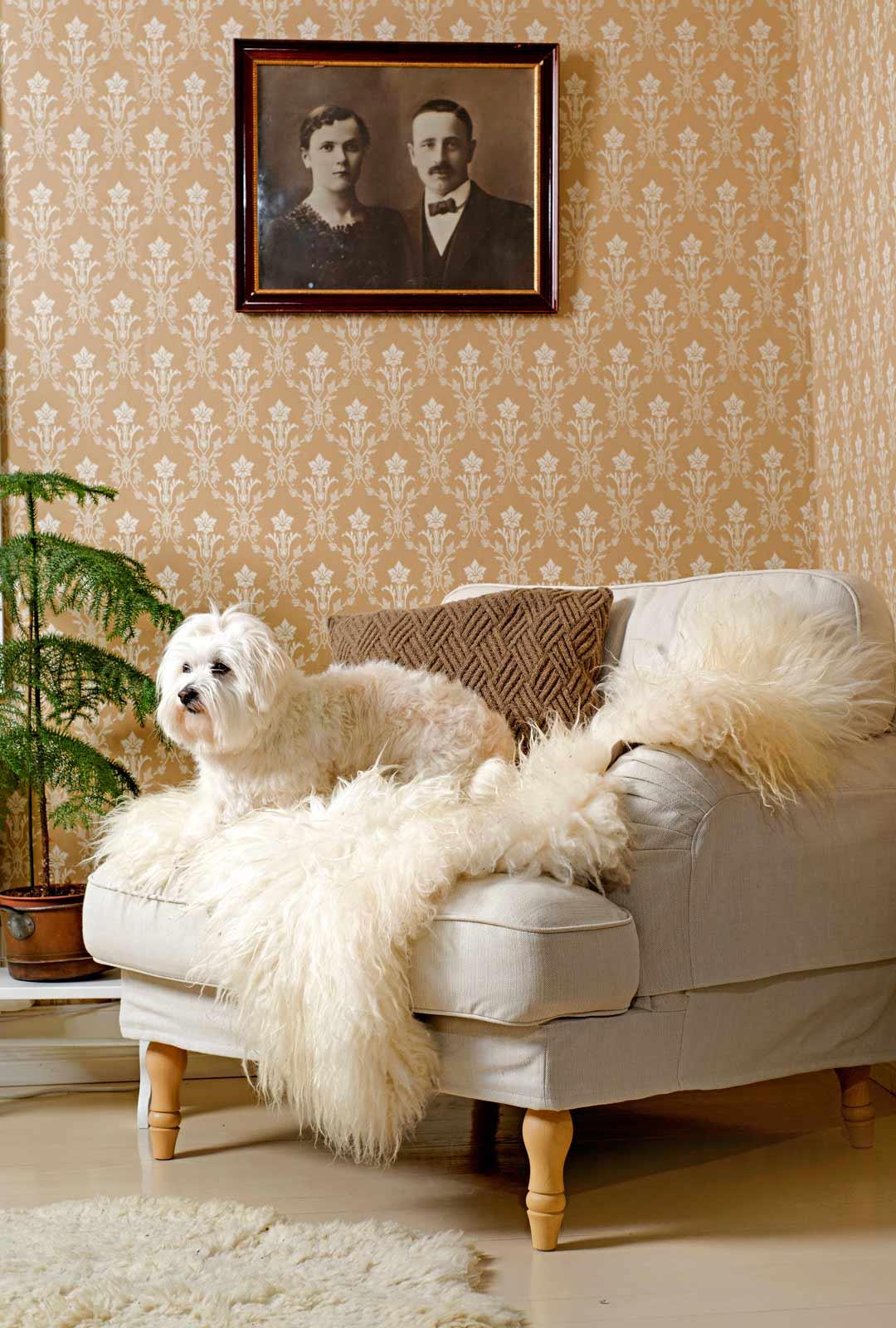 4-vuotias Coton de tulear -rotuinen Saga valitsee mielellään paikkansa kodin sohvalta tai nojatuolista.