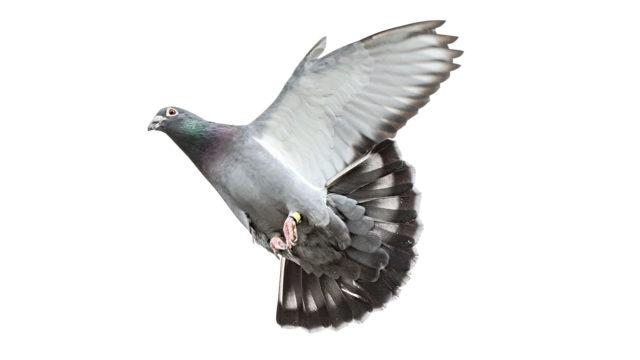 Luuimplanttia ei tarvitse poistaa siivestä sen jälkeen kun linnun lentokyky on palautunut.