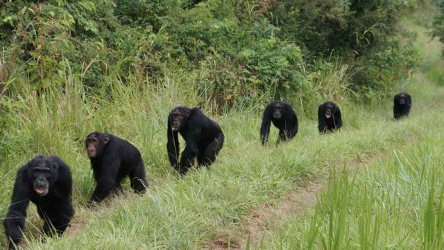 Simpanssiyhteisön elämää Ugandan Ngogossa.